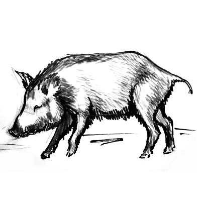 Boar drawing 13