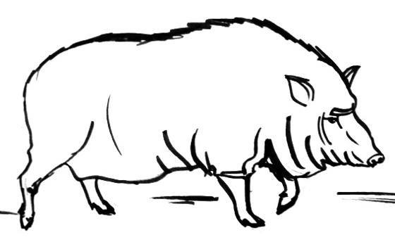 Wild boar female drawing
