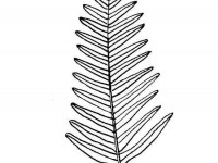 Fern leaf coloring page