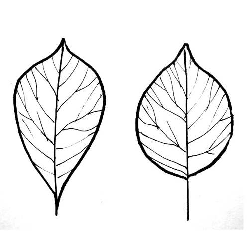 Poplar and cherry leaves coloring page