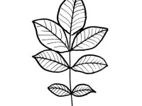 Rose leaf coloring page