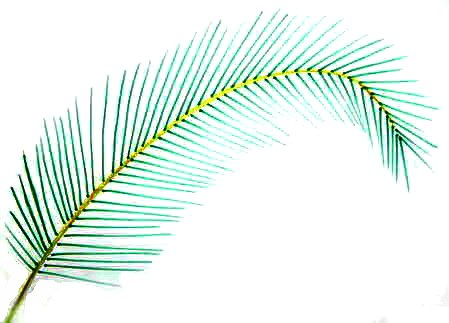 Step by step drawing of a palm leaf