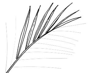 Date Palm Leaf drawing 2