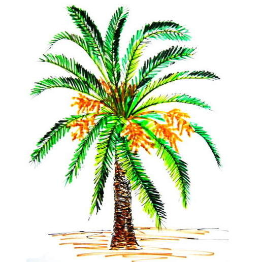 Date Palm tree colored drawing