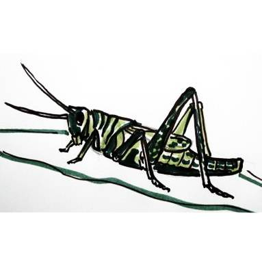 Grasshopper colored drawing