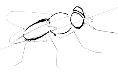 Fly drawing lesson