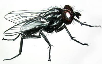 the housefly the most annoying insect ever Best fly traps & repellents - 10 ways to kill flies focus on today will be how to get rid of house flies, since this is the most annoying home pest works with replaceable uv bulbs (just like other zappers), the light of which attracts most (or maybe all) of the flying insects.