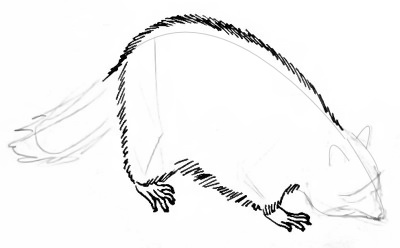 Racoon body drawing