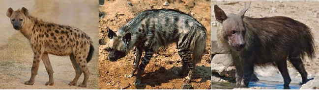 Hyena photos