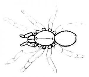 Tarantula-bird spider drawing