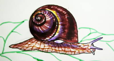 Edible snail picture