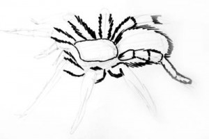 Tarantula drawing 1