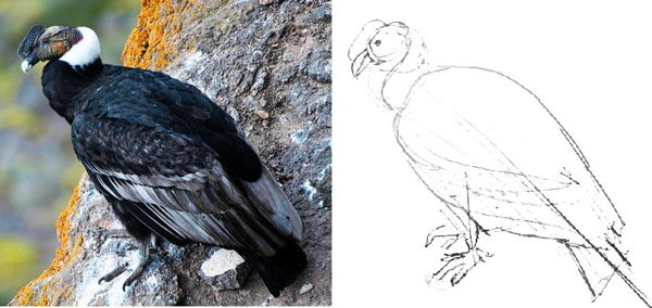 Andean condor pencil sketch