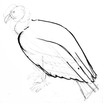 Vulture body drawing