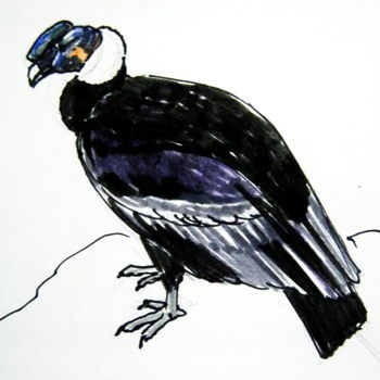 Andean condor colored drawing