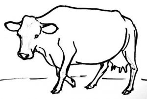 Hornless cow drawing