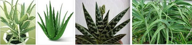 Aloe photos