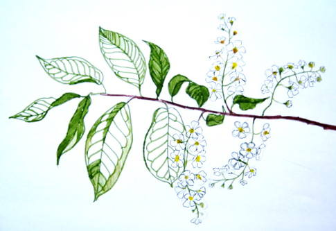 Bird cherry flowers drawing 13