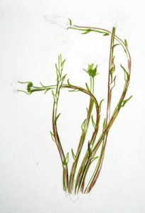 Coltsfoot stems drawing