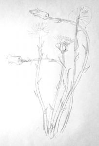 Coltsfoot (foalfoot) drawing