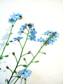 How to draw a forget me not forget me not ccuart Image collections