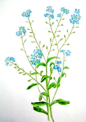 Forget Me Not drawing from nature