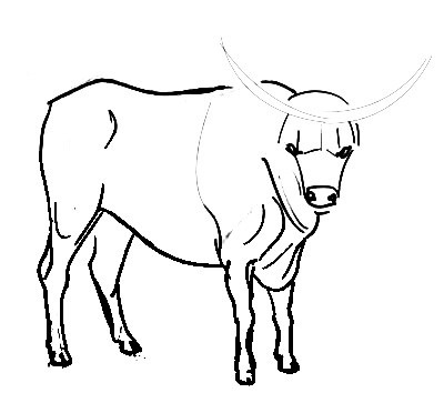 Step by step Bull drawing