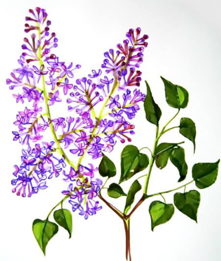 Blooming Lilac flowers drawing 13