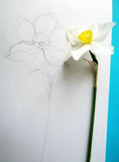 Daffodil drawing