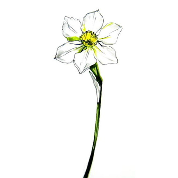 Daffodil drawing 13
