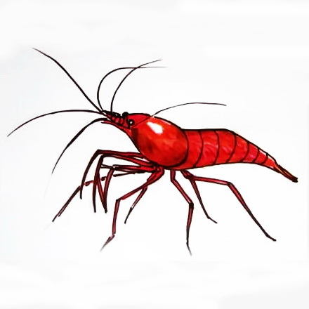 Shrimp colored drawing