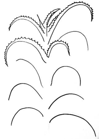 Aloe drawing step by step