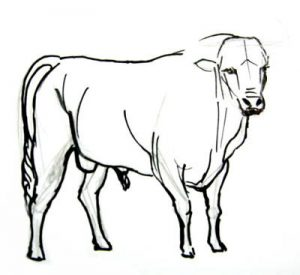 Bullfighting bull drawing drawing instruction
