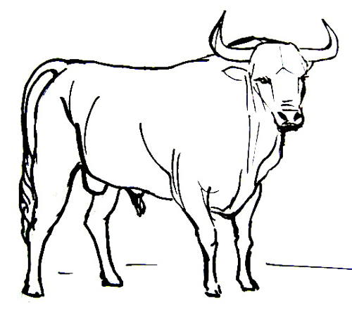 Bullfighting bull coloring picture