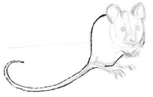 Sitting mouse drawing step by step