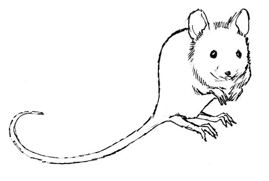 Mouse  line drawing