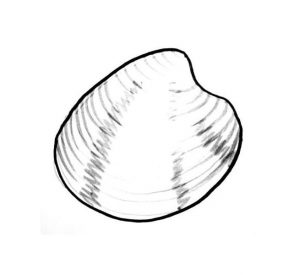 sea shell drawing