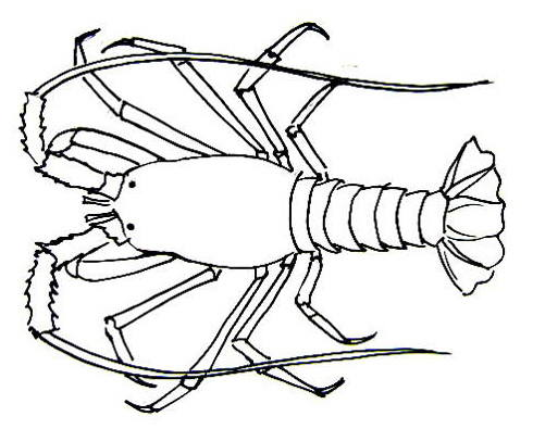 Spiny lobster drawing