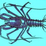 How to draw a spiny lobster (langouste)