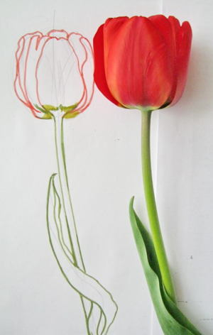 how to draw an open tulip
