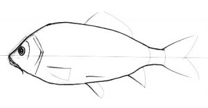 How to draw a Carp fish