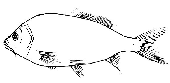 Carp outline(coloring picture)