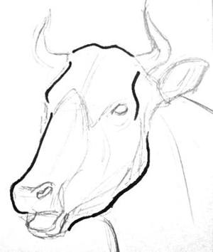 Cow head and face drawing