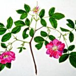 How to draw a Wild Rose step by step