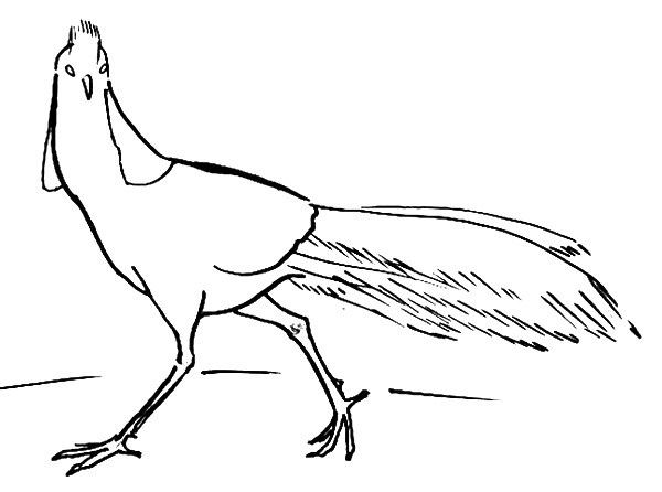 Pheasant  outline