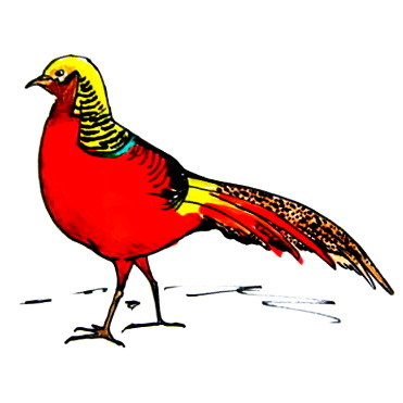 Golden Pheasant drawing