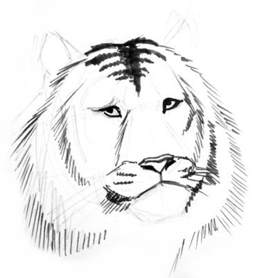 Tiger Face drawing 13