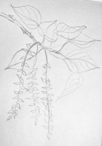 Poplar twig pencil drawing