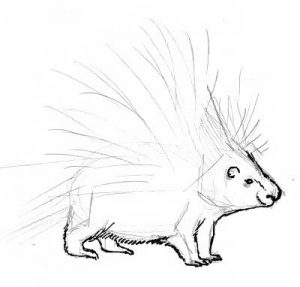 Porcupine drawing lesson 2