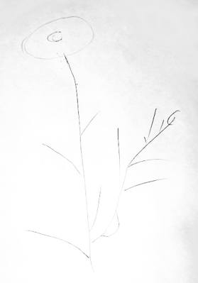 Camomile drawing 1